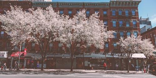 Sakura Trees