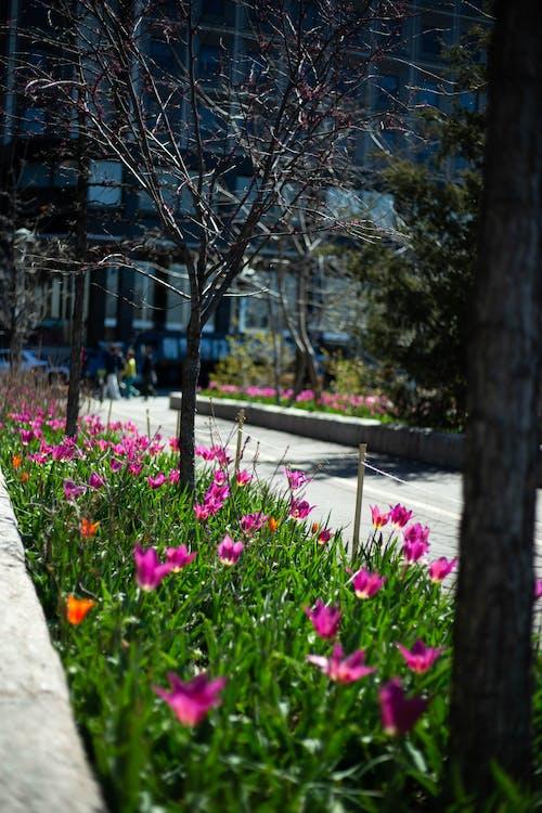 Free stock photo of city garden, flowers, garden, Pink Tulips