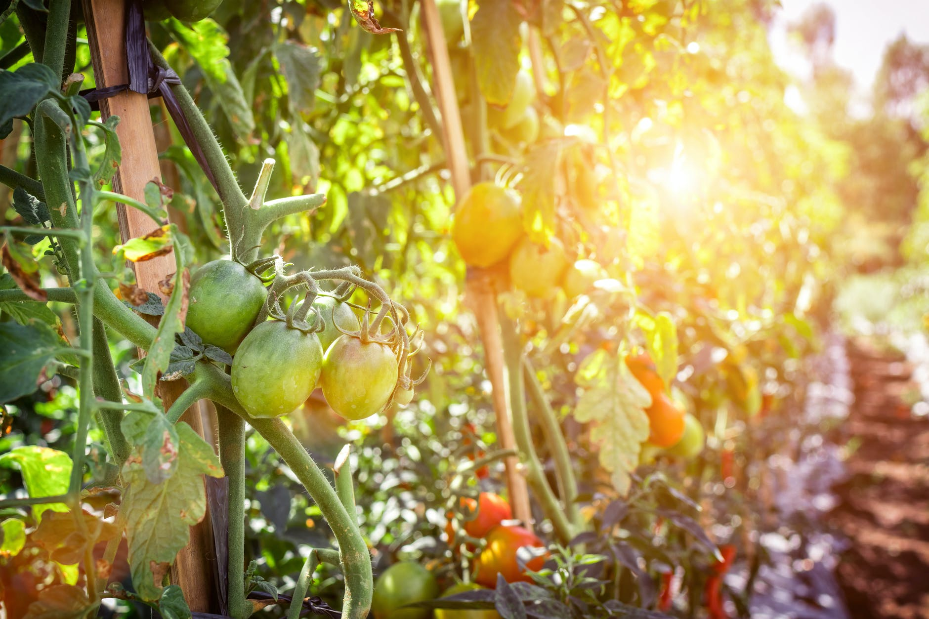 The Best Guide To Growing Tomatoes Right | Gardening Tips