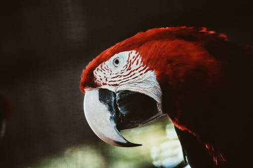 Red and White Parrot