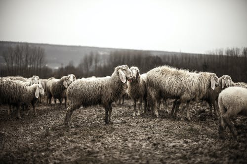 Fotobanka sbezplatnými fotkami na tému čierny abiely, črieda, kŕdeľ, ovca