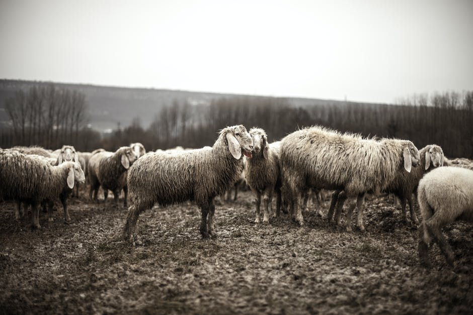 Black and white animals sheep flock