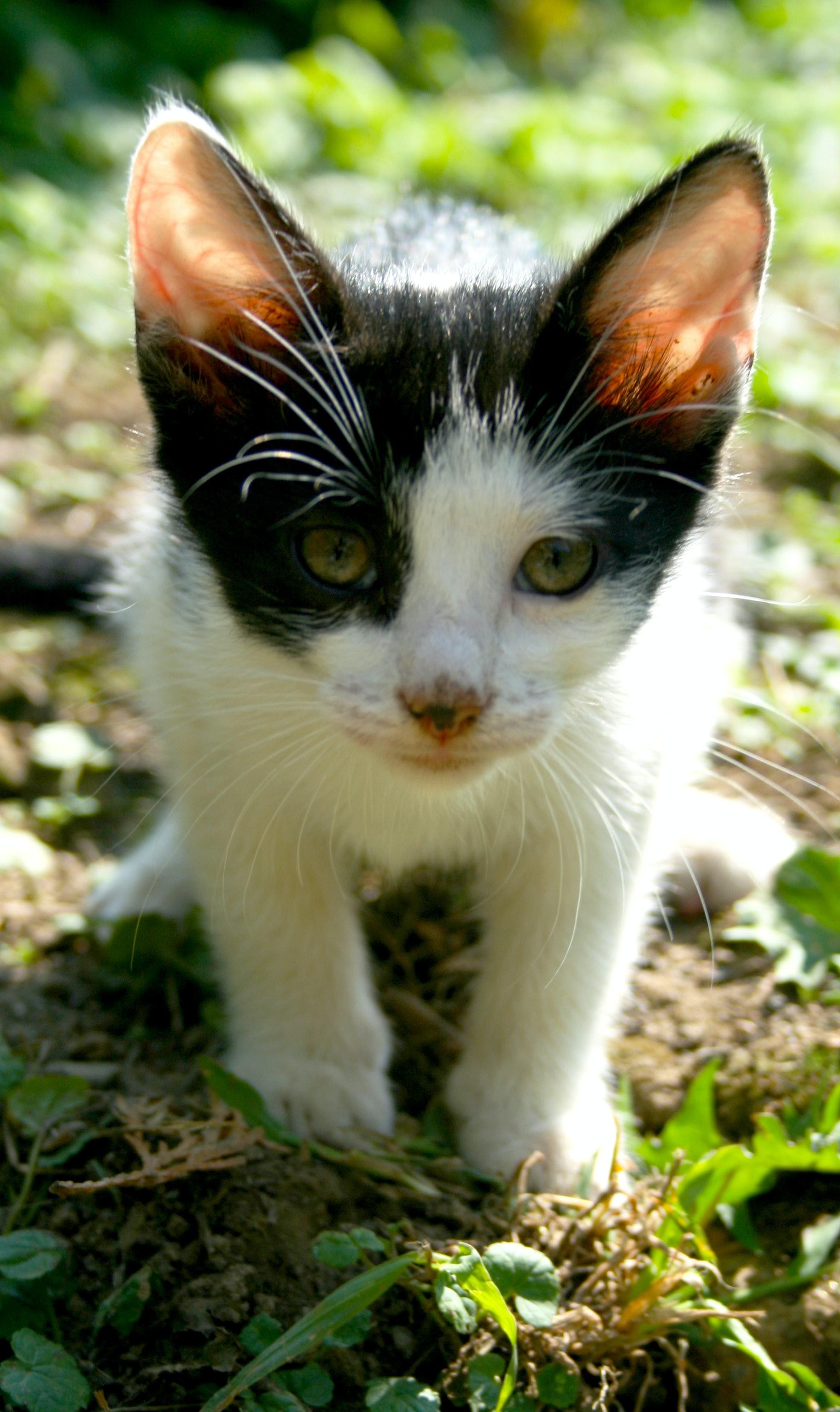 Free stock photo of cat, cute, kitten