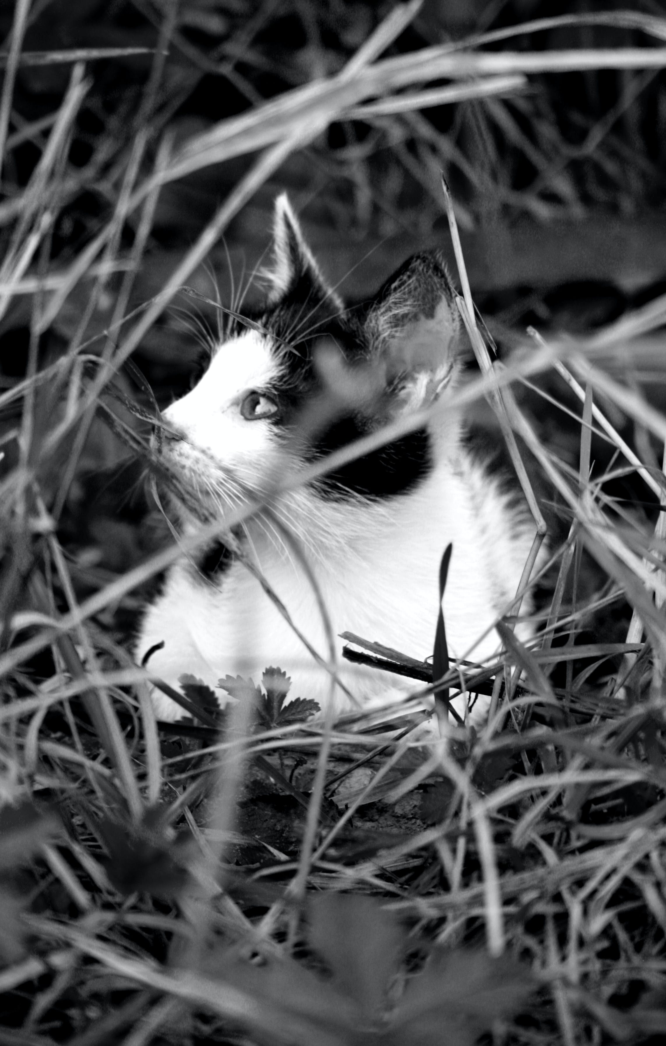 Free stock photo of black and white, cat, cute, grass