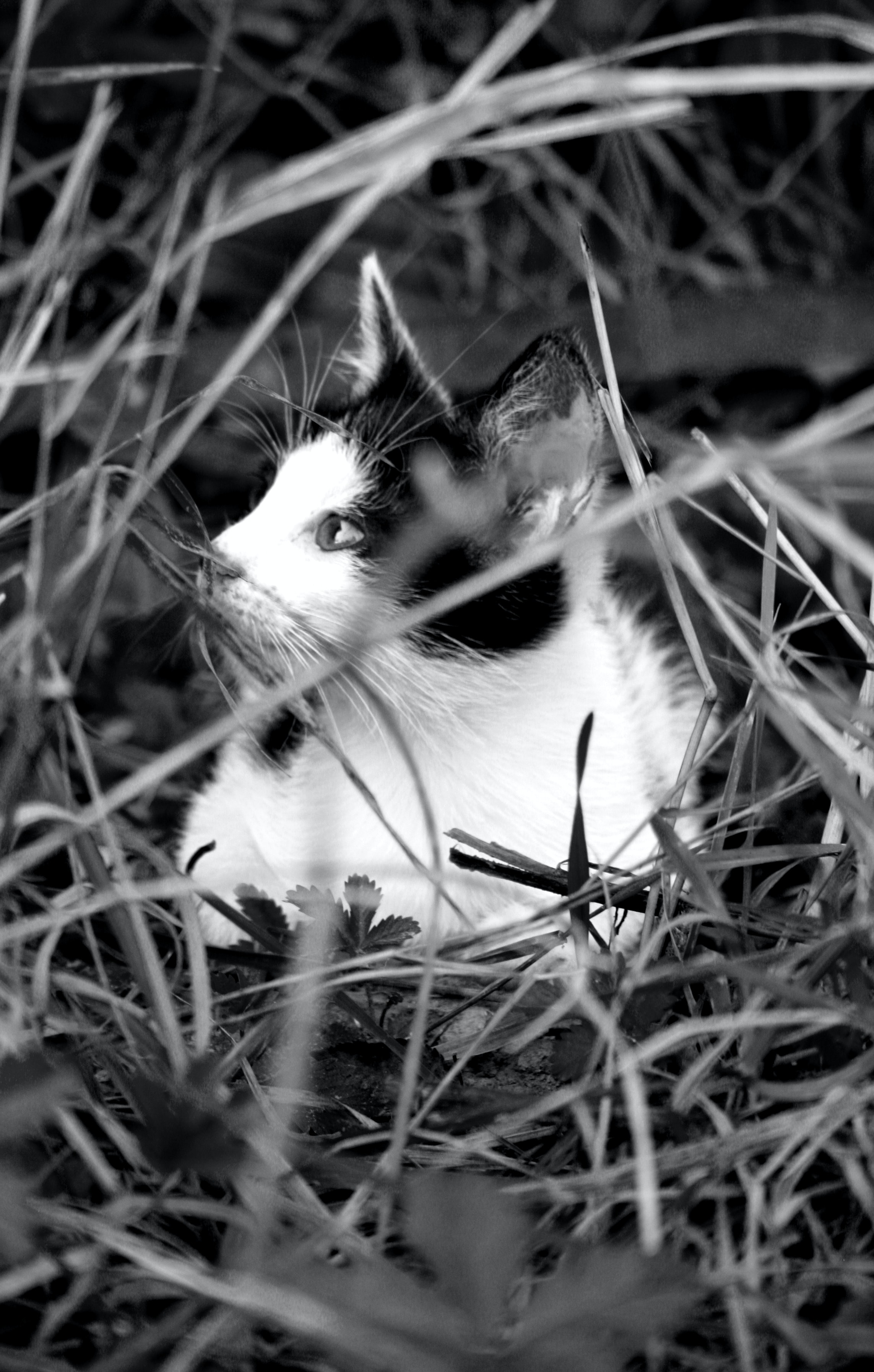 Free stock photo of black and white, cat, cute