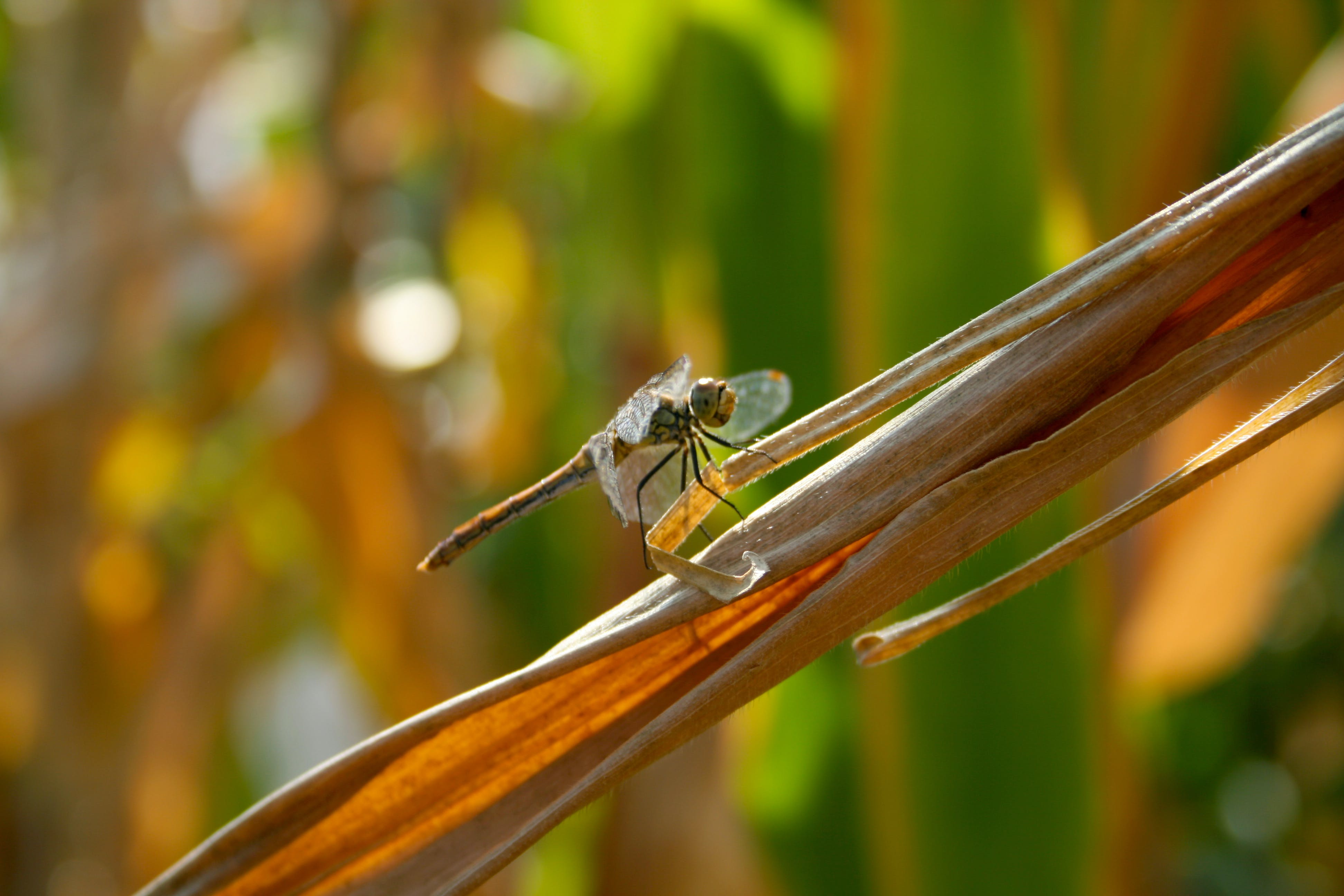 Free stock photo of closeup, cornfield, dragonfly, insect
