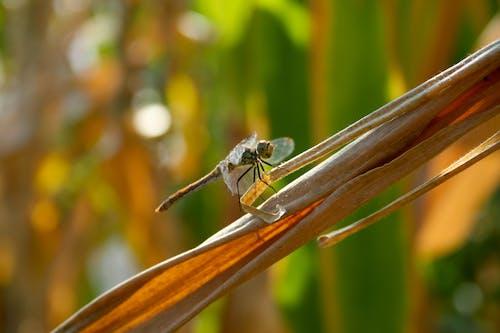 Photos gratuites de champ de blé, gros plan, insecte, libellule