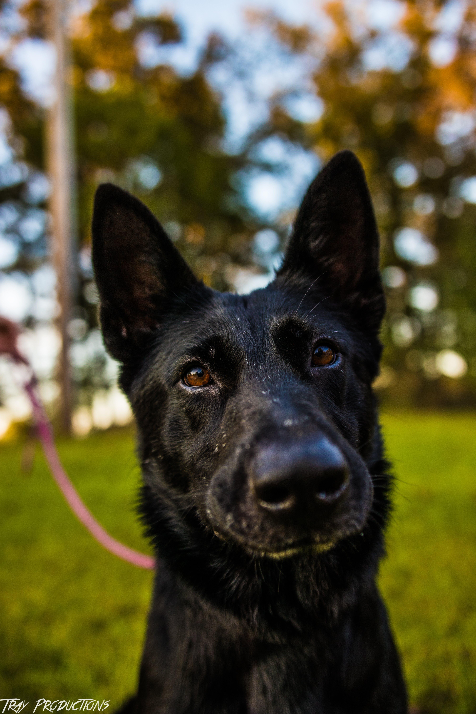 Free stock photo of baby dog, black dog, Black German shepherd, dog
