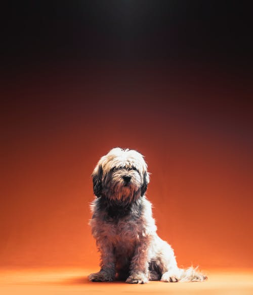 Adult White Shih Tzu