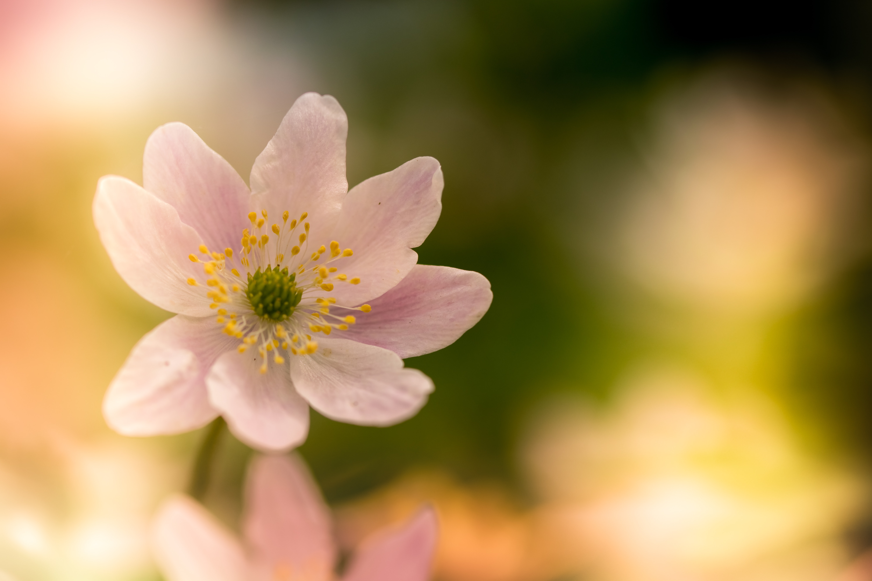 Macro Photography Of White Poppy Flower Free Stock Photo