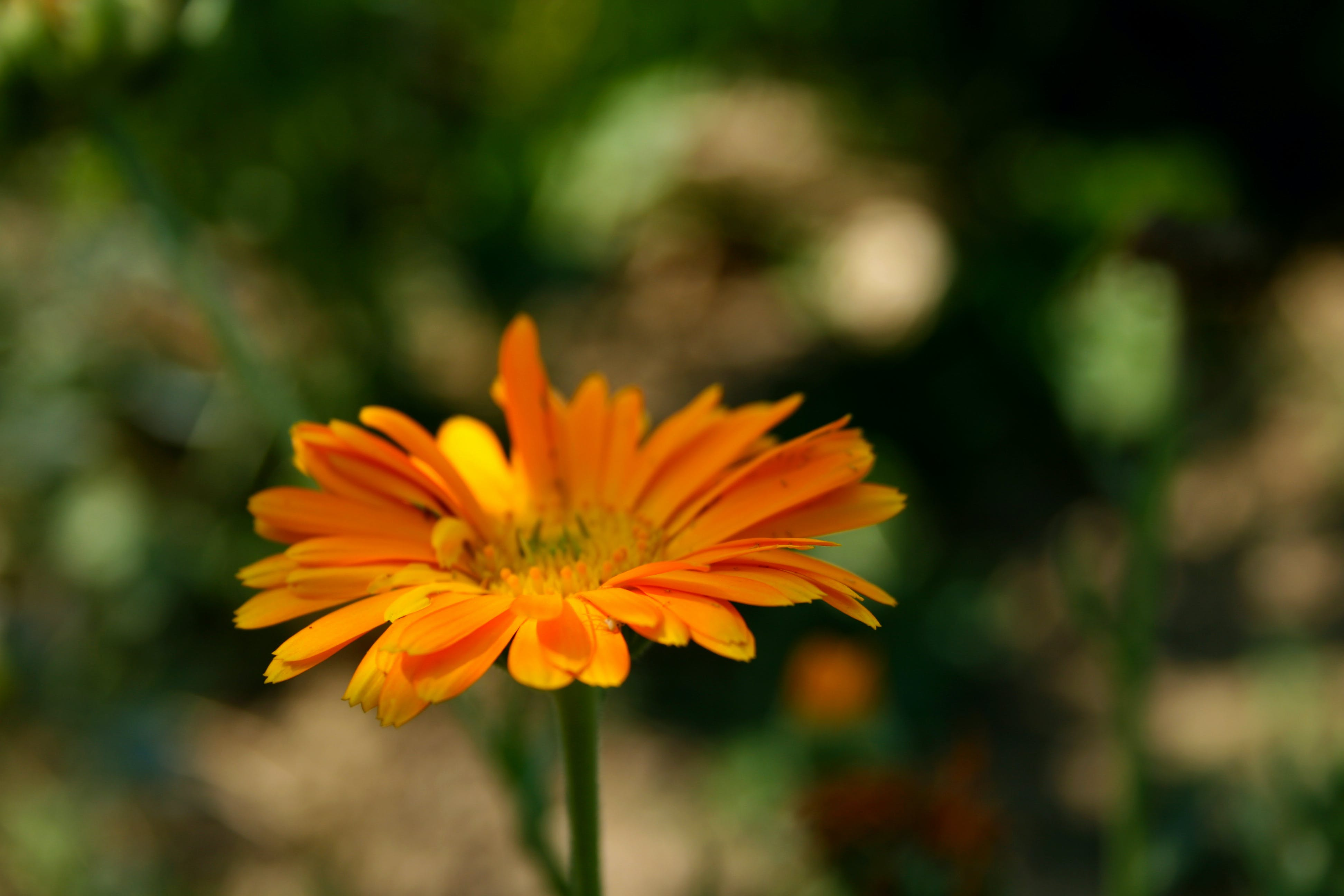 Free stock photo of garden flower, marigold, nature, orange flower