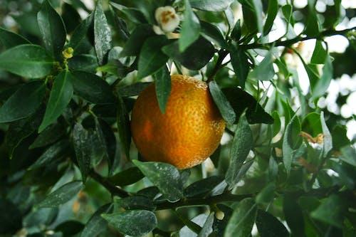 Photos gratuites de agrume, agrumes, exotique, fleur de mandarine