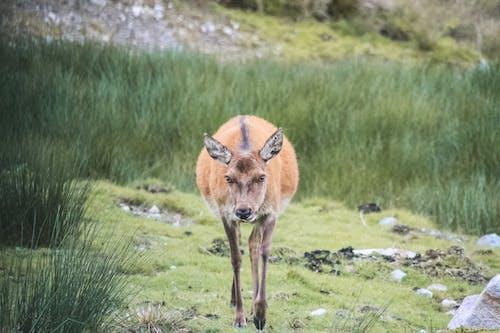 Бесплатное стоковое фото с животное, олень, природа, трава