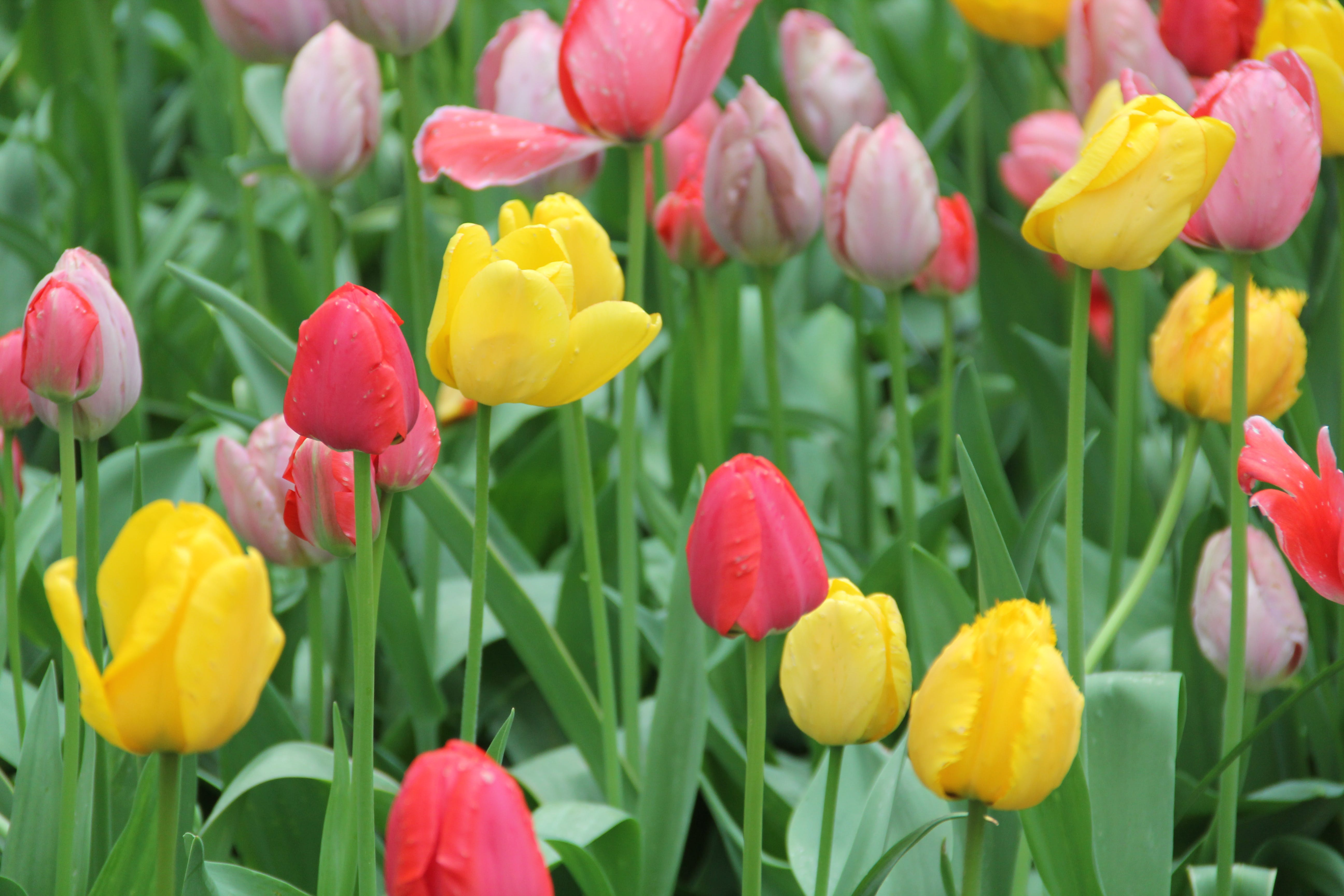 Free stock photo of big city, bunch of flowers, chicago, tulips