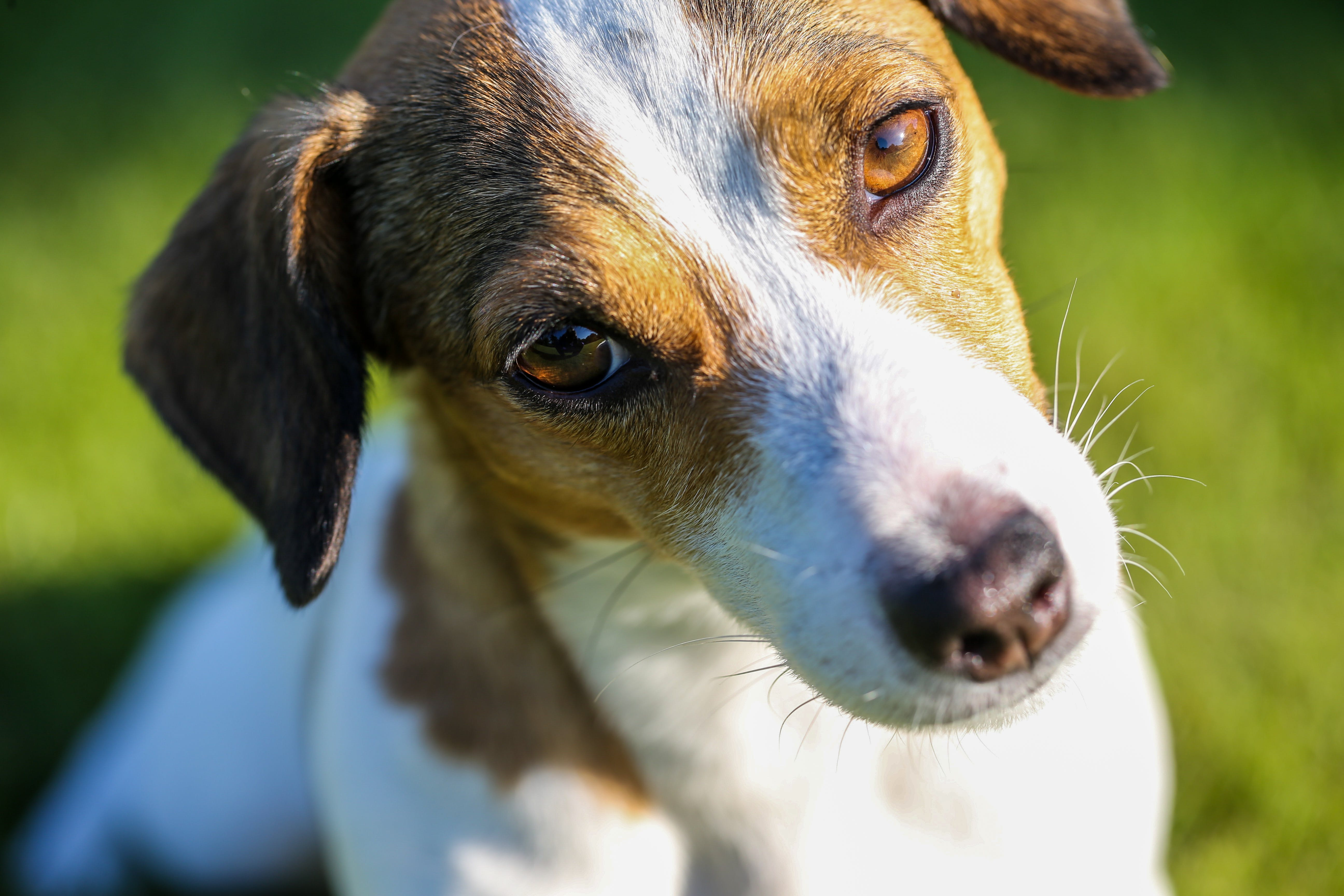 Shallow Focus Photography of White and Tan Jack Russell Terrier