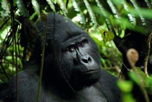 Gratis arkivbilde med bwindi, gorilla, silver