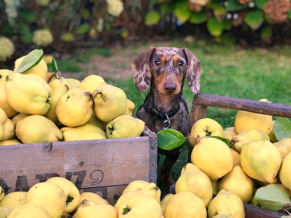 eläin, hedelmä, koira
