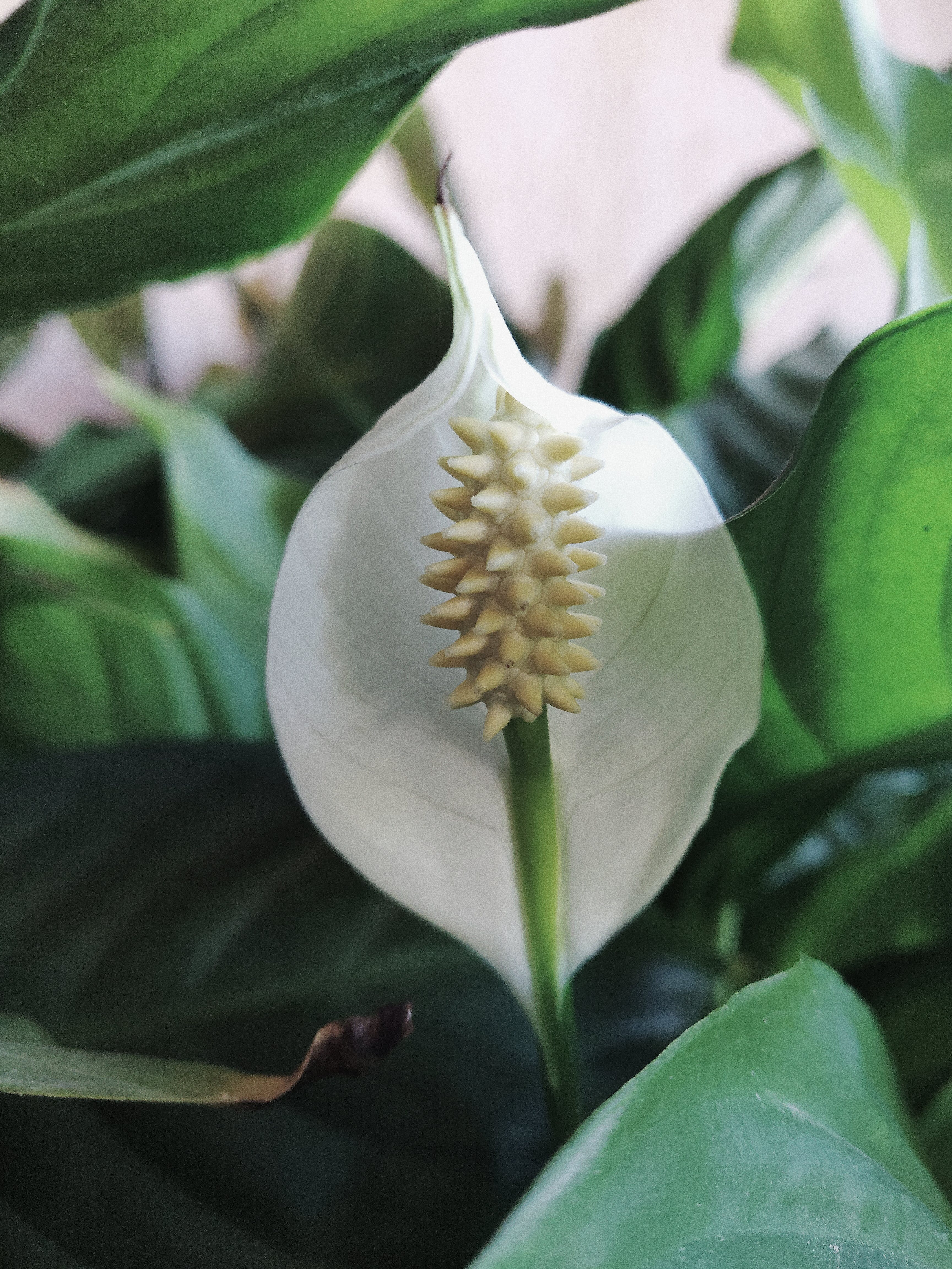 Photo Of White Peace Lily