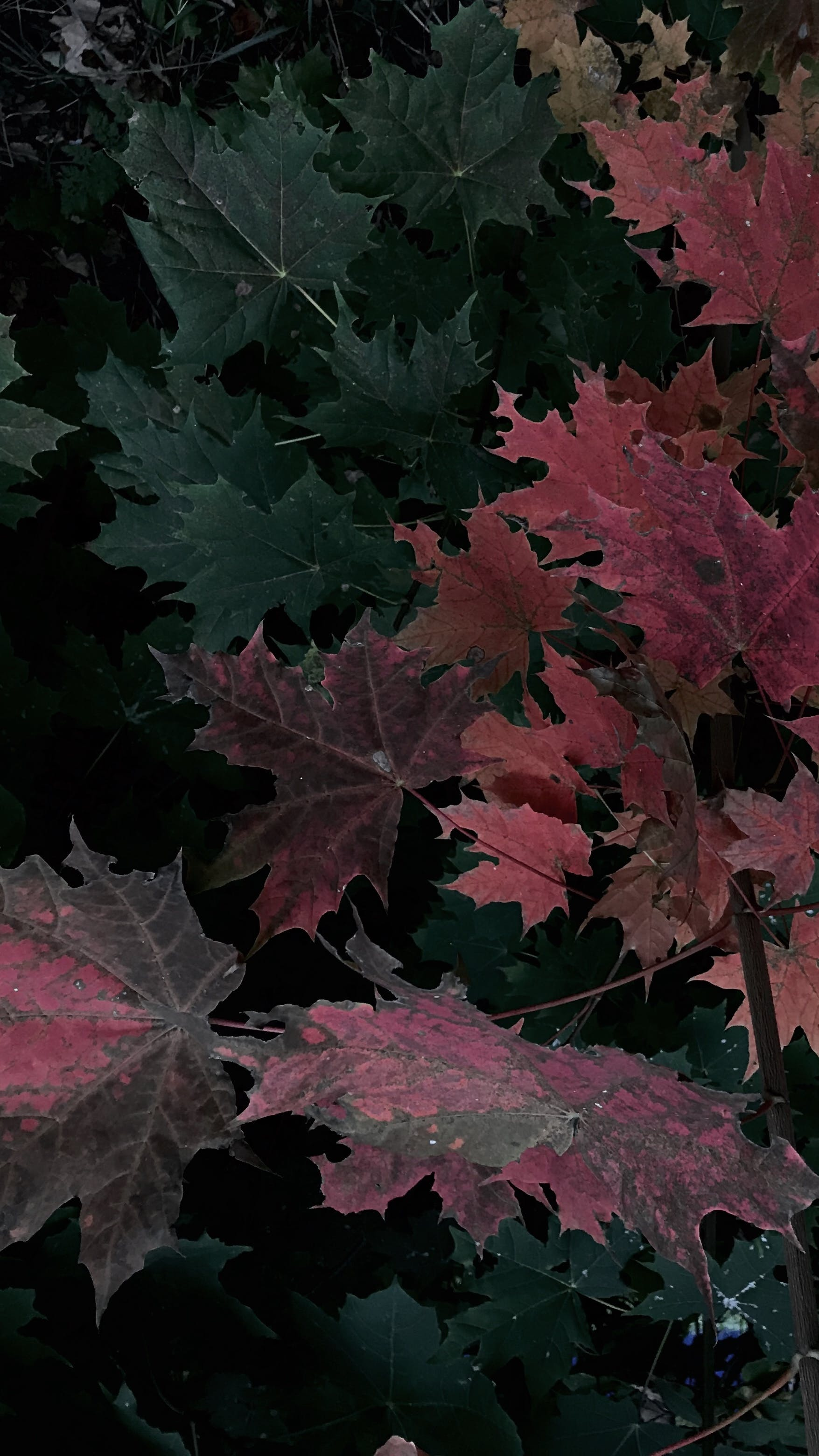 Free stock photo of android wallpaper, autumn, iphone wallpaper, leaves