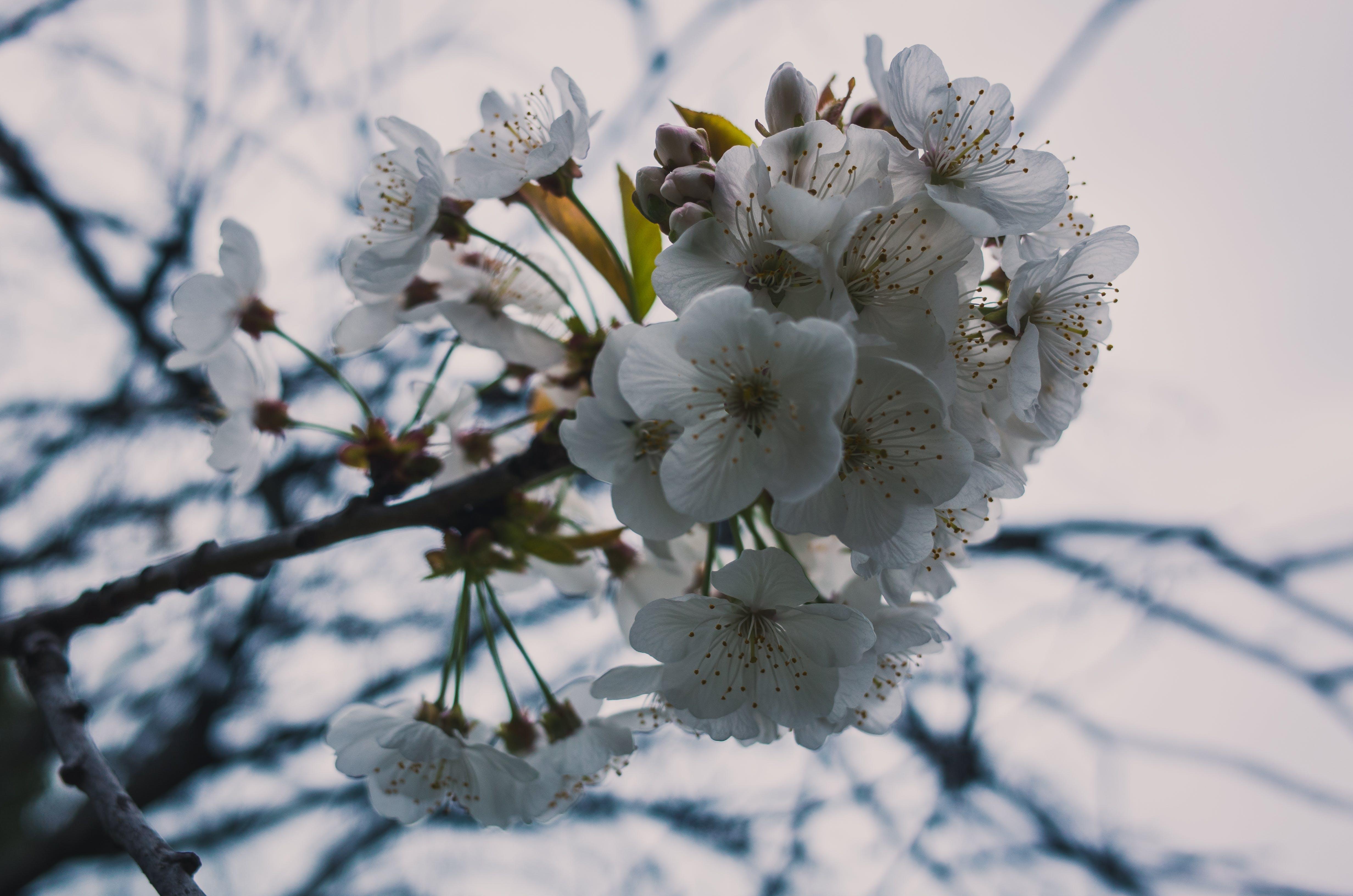 Free stock photo of bloom, blossom, cherry blossom, daylight