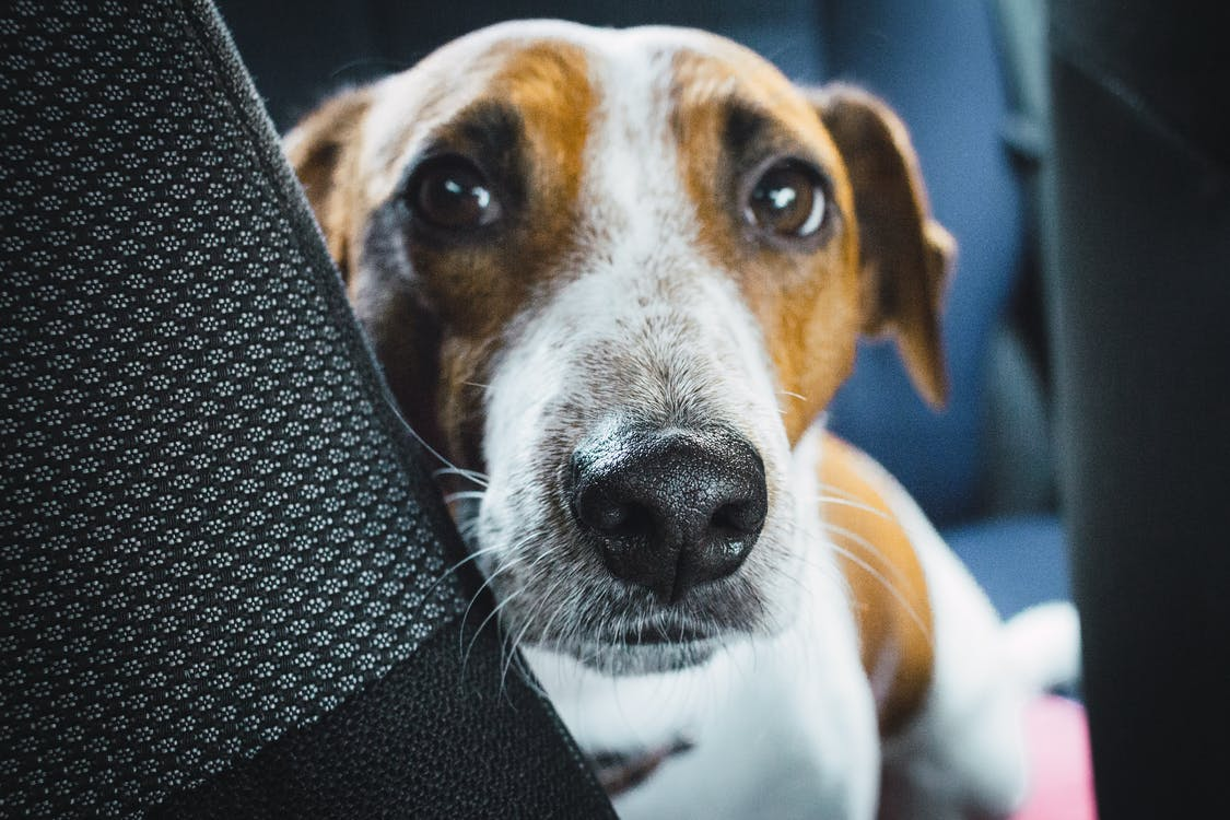Close-up Photo of Jack Russell Terrier on Vehicle