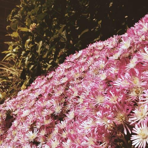 Free Stock Photo Of Flower Wallpaper Flowering Tree Pink Flower