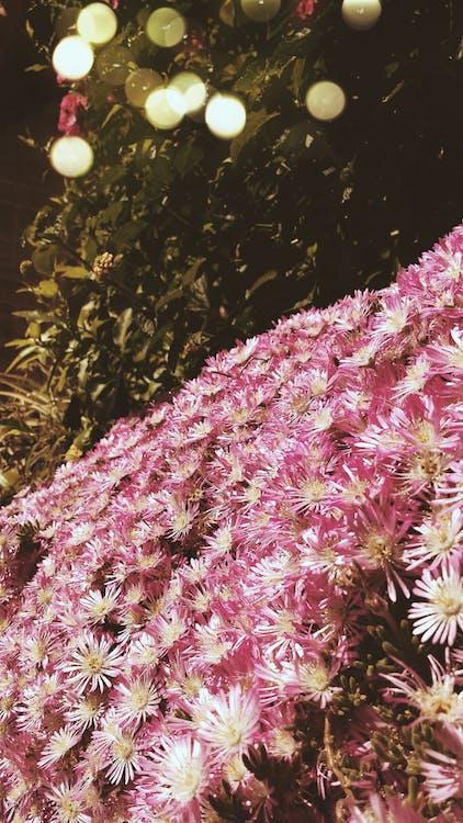 Kostenloses Stock Foto zu pinke blumen, schöne blumen, tumblr hintergrundbilder