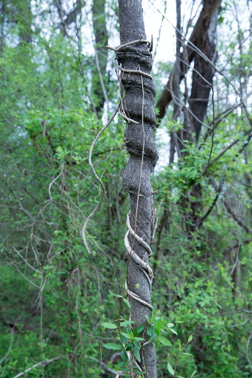 Free stock photo of nature, tree, vine, woods