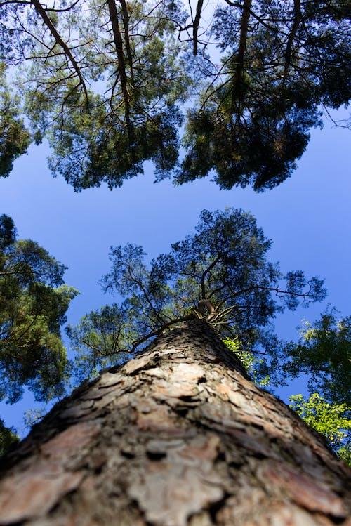 Kostenloses Stock Foto zu baum, blauer himmel, holz, wald