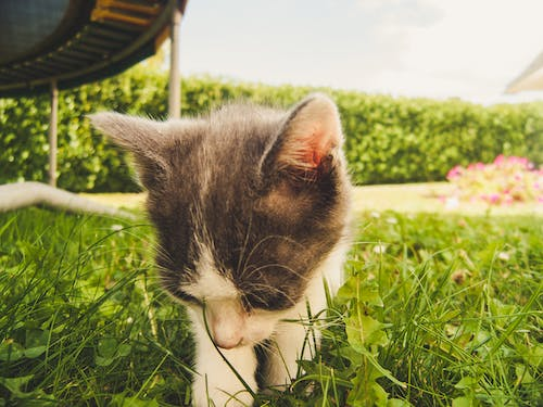 Free stock photo of cat, chat, Chaton