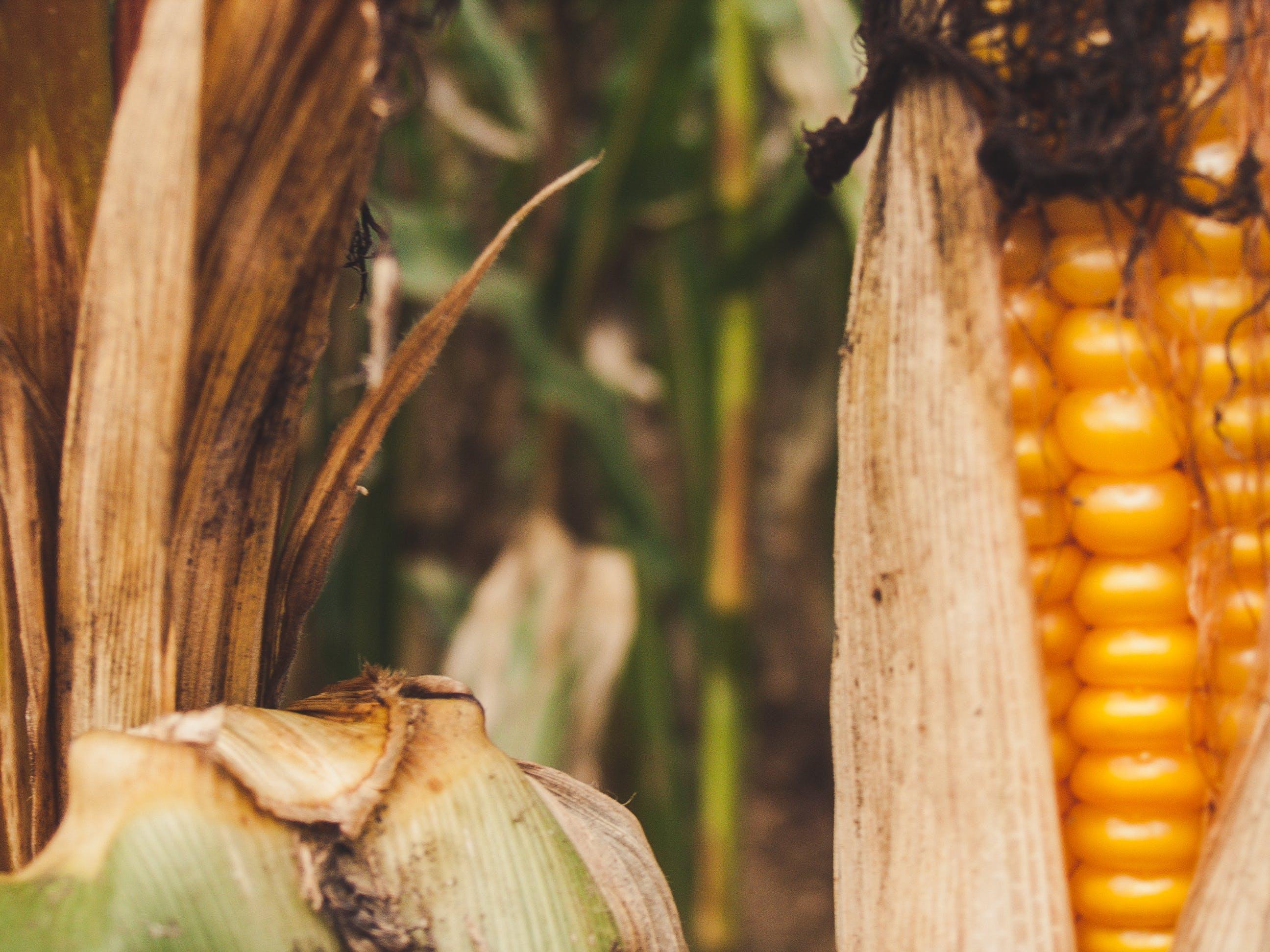 Kostenloses Stock Foto zu mais