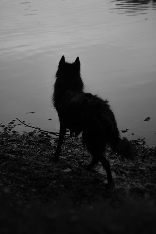Foto stok gratis anjing, b / w, cewek, dam