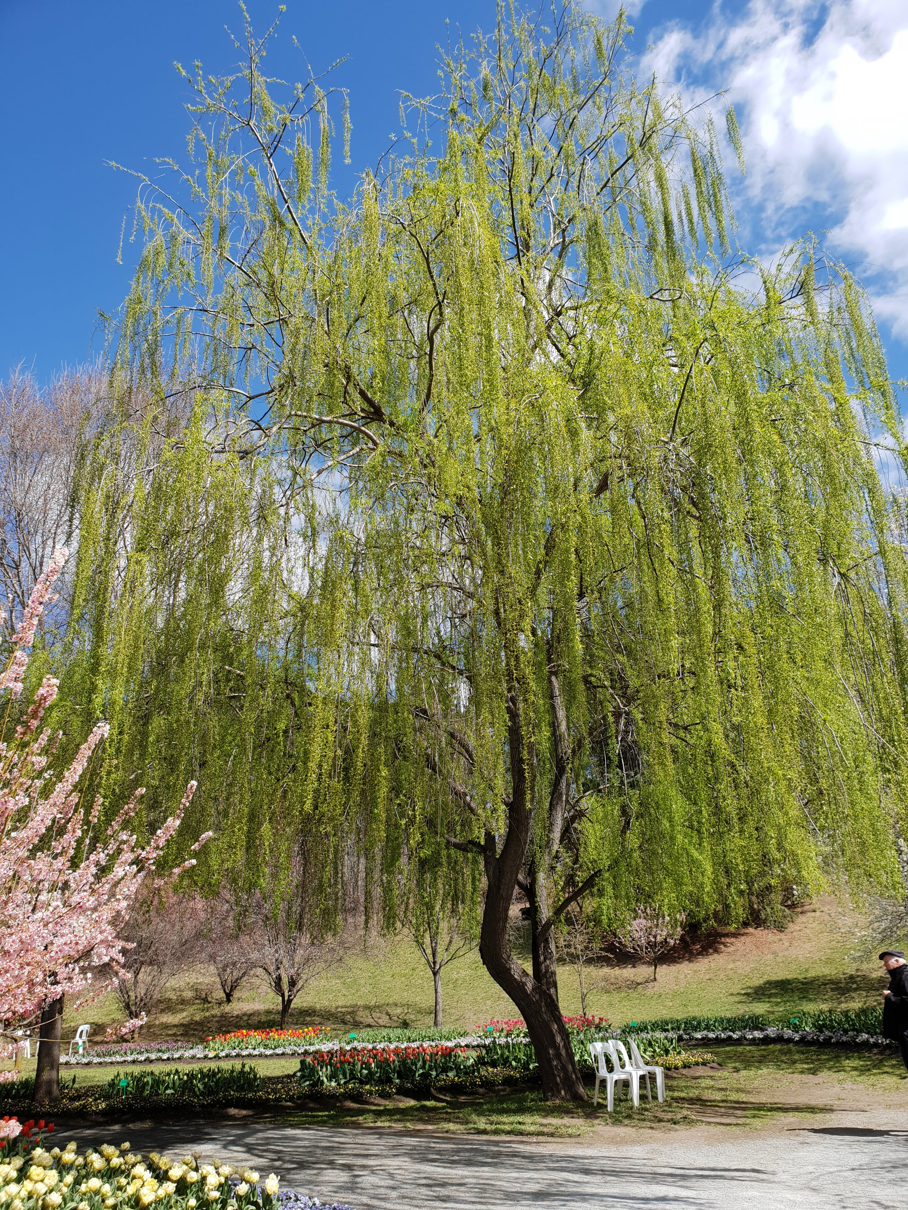 Free stock photo of tree, Willow, willow tree