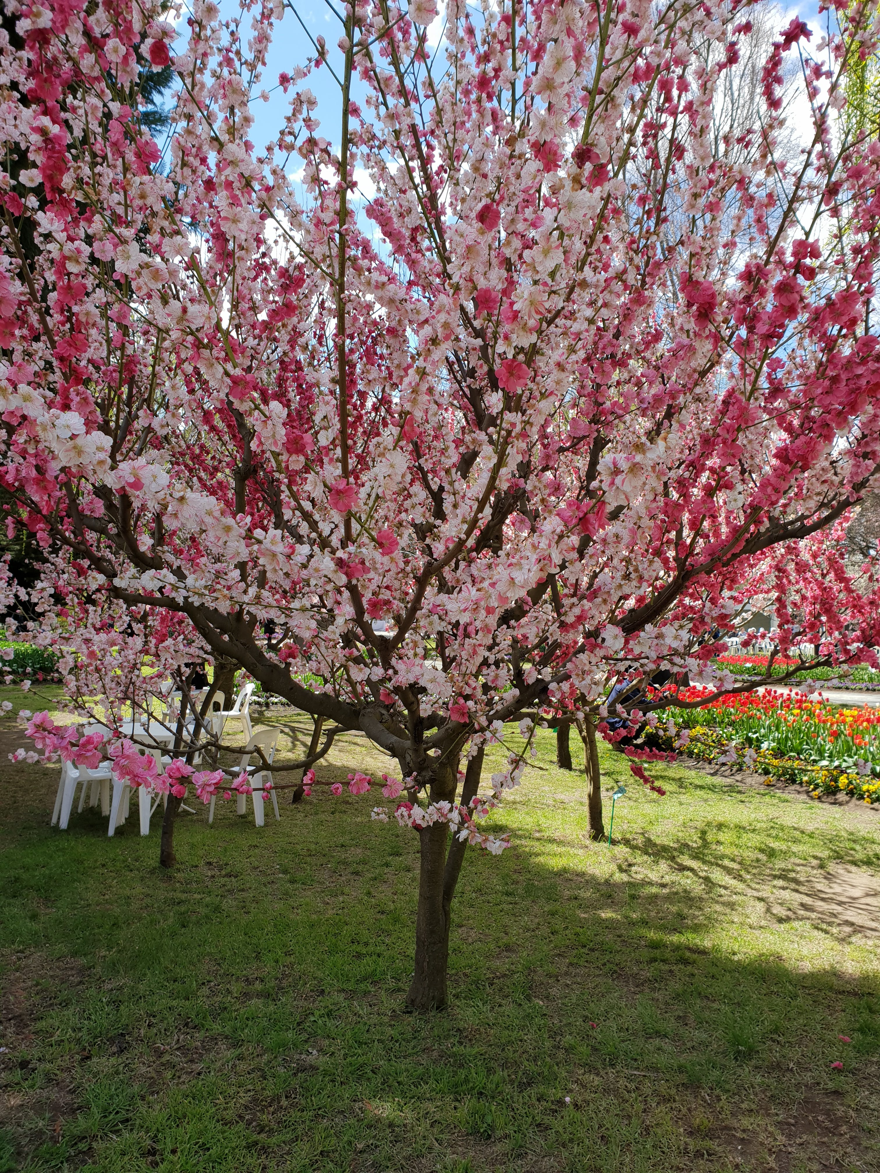 Free stock photo of blossoms, cherry blossoms, spring, tree