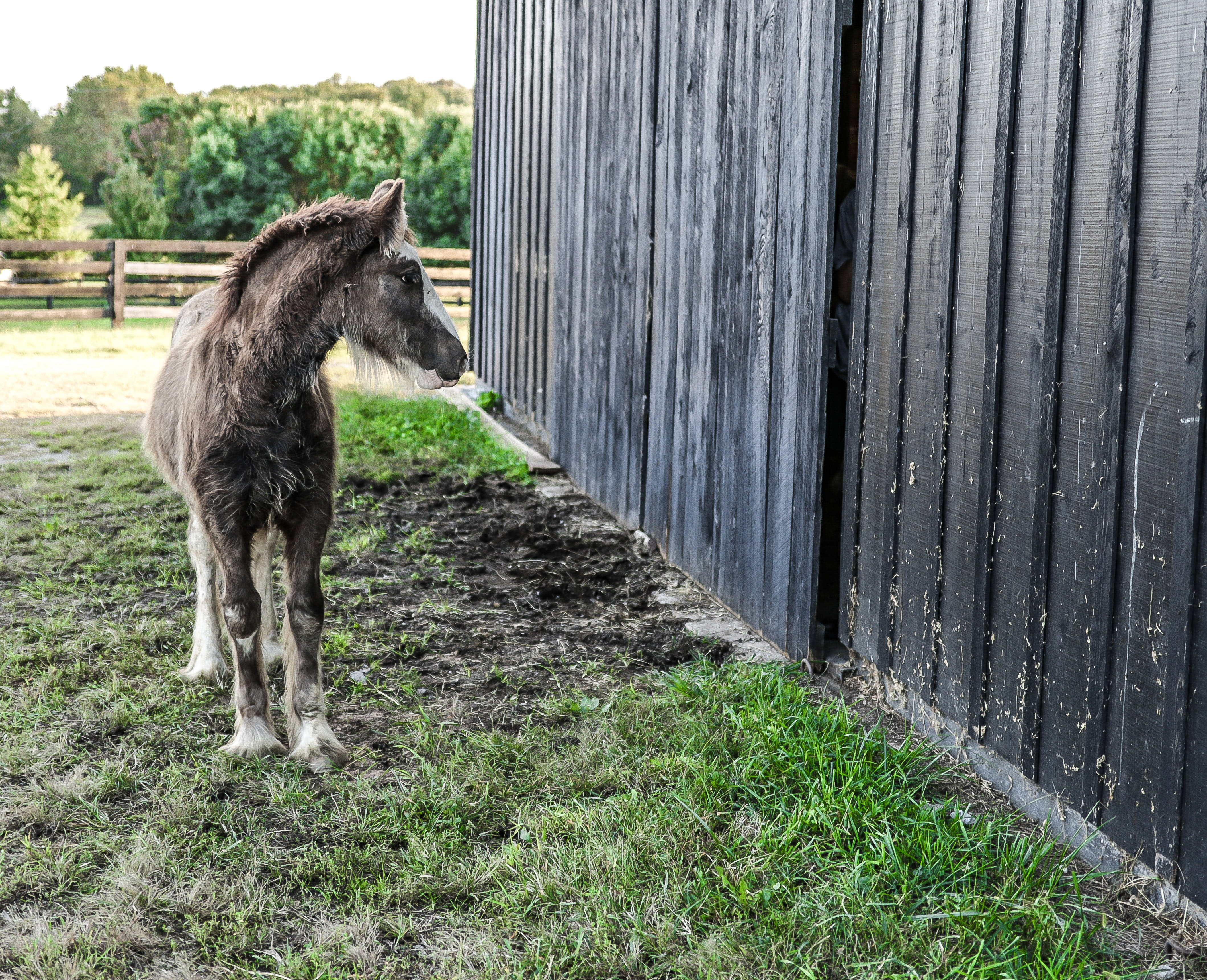 Gray and White Foal Standing Beside Wood Fence