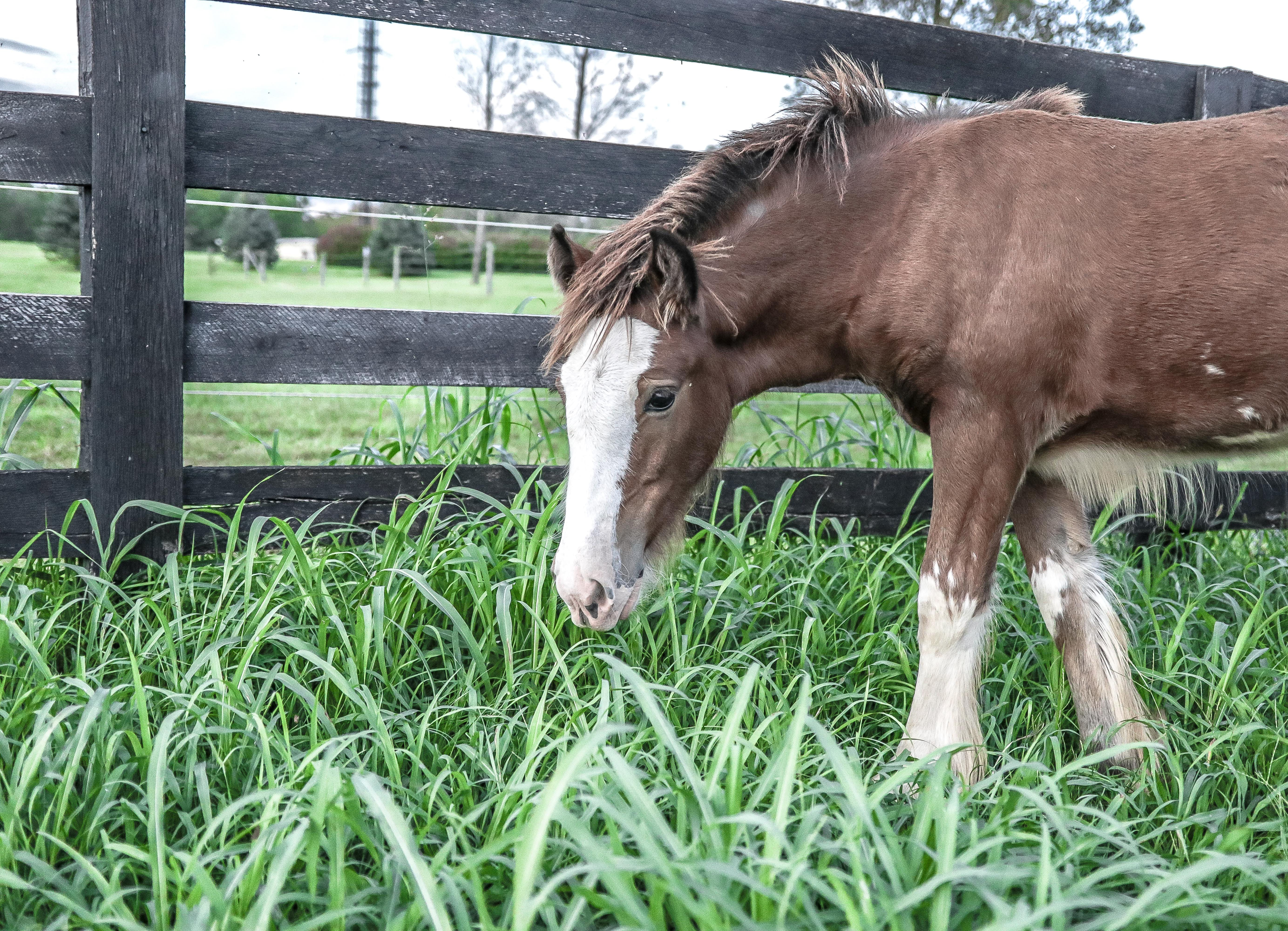 Young Horse Beside Fence