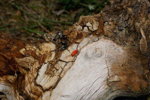 Foto stok gratis beetle, binatang, kayu