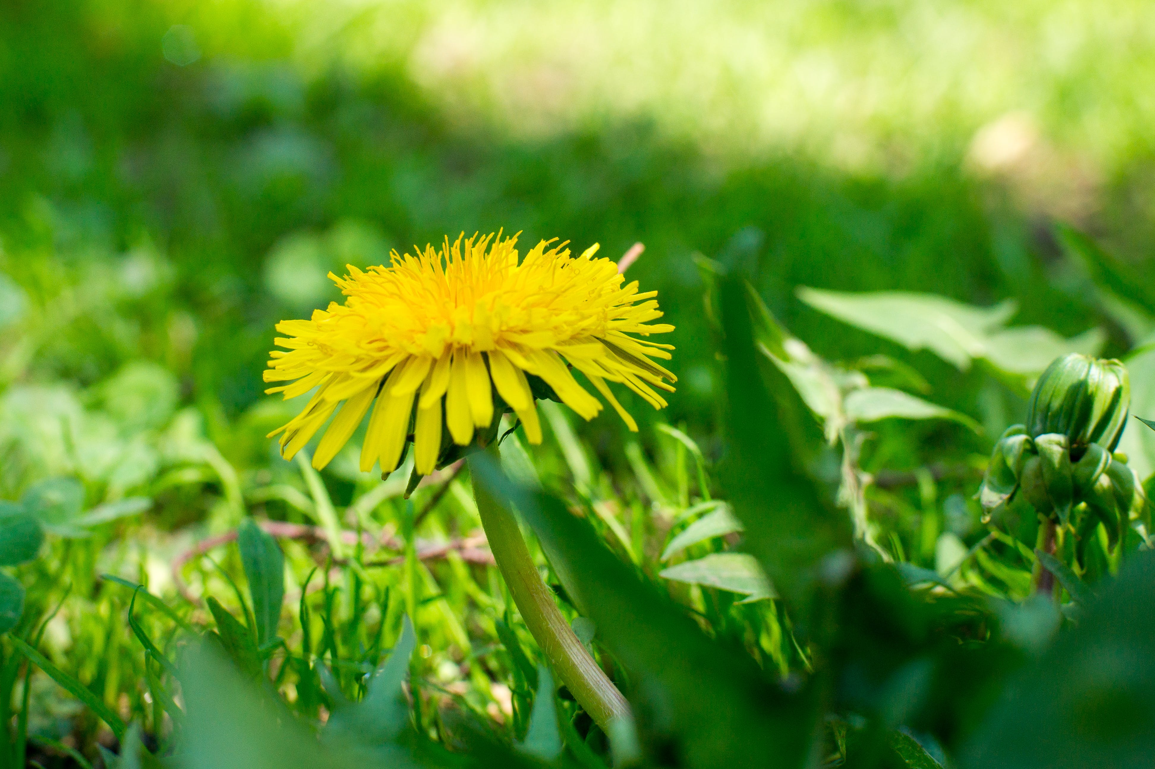Free stock photo of dandelion, flower, nature
