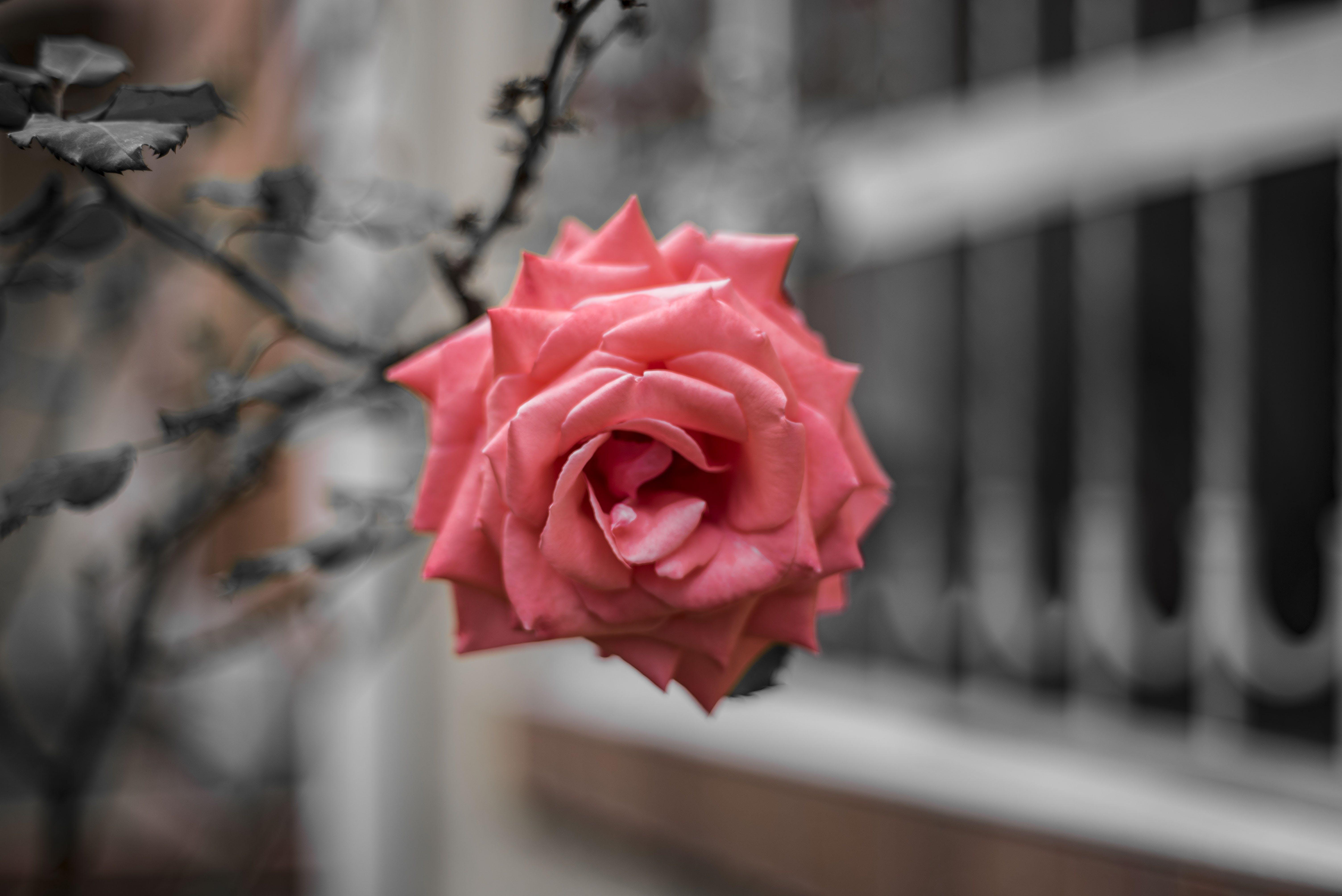 Fotobanka sbezplatnými fotkami na tému movidagrafica, park, príroda, ruža