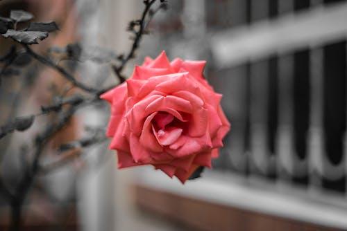Immagine gratuita di movidagrafica, natura, parco, rosa