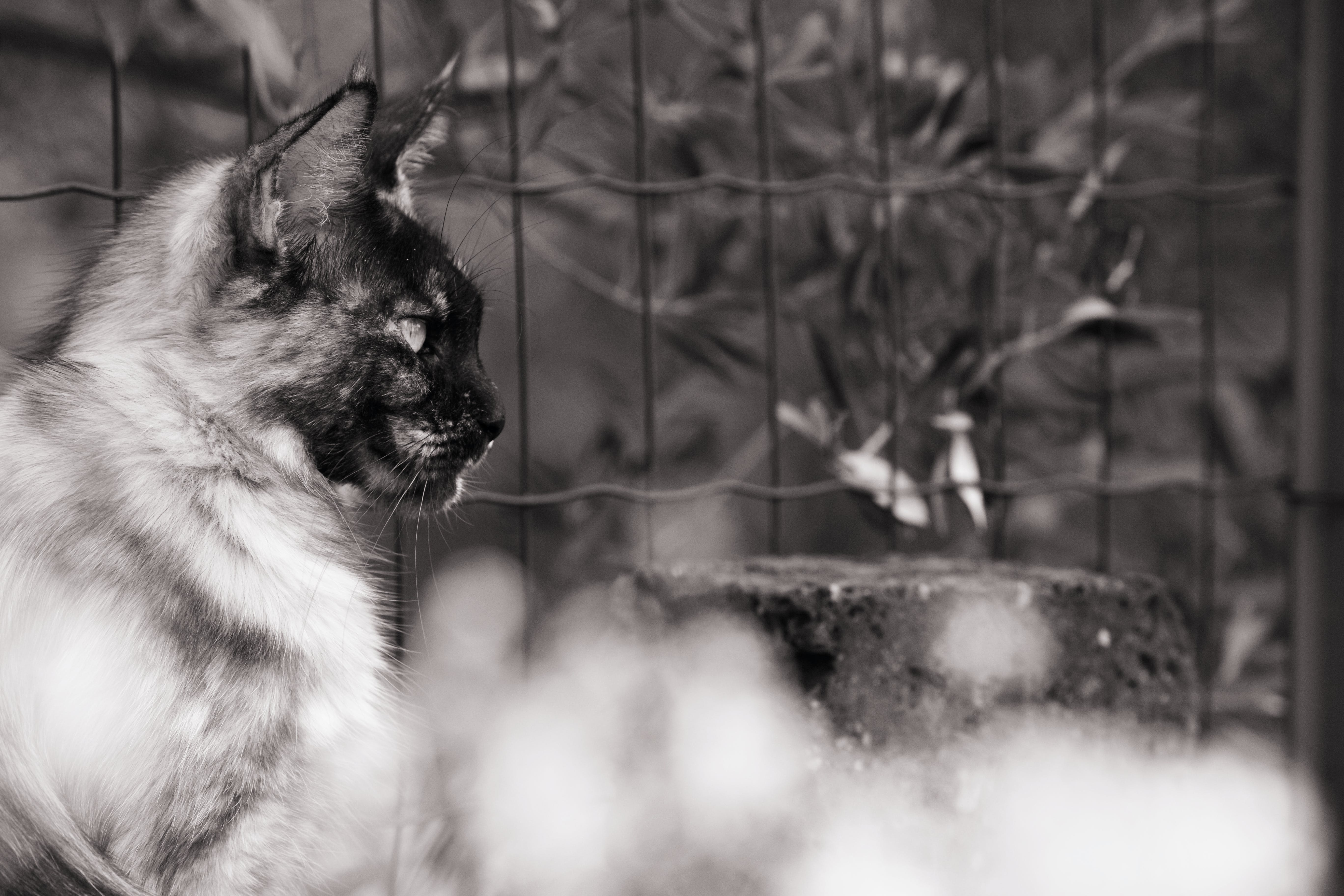 Free stock photo of big cat, big cats, big maine coon, black and white
