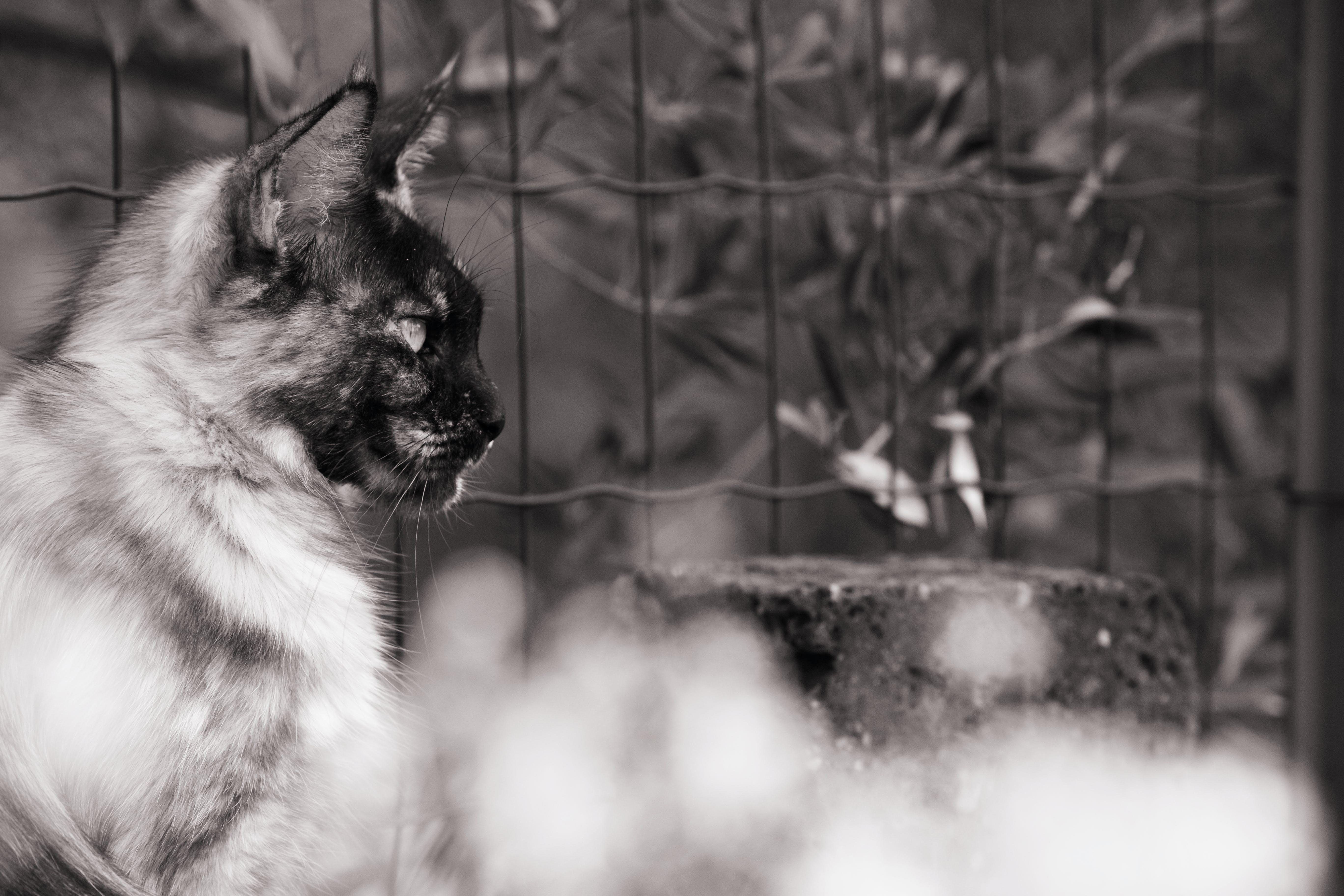 검은색 배경, 메인 캘런, 메인 쿤, 반려동물의 무료 스톡 사진