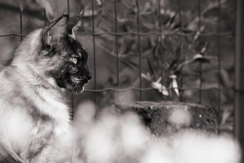 Δωρεάν στοκ φωτογραφιών με maine coon, mainecoon, ασπρόμαυρο, Γάτα