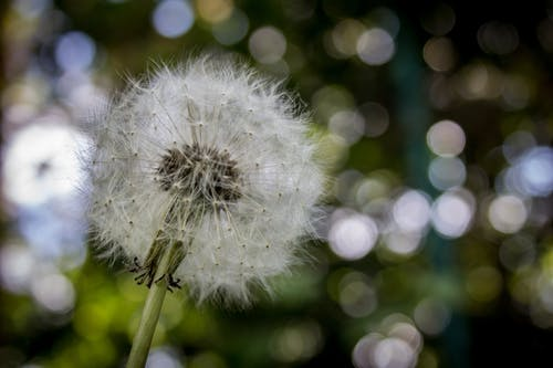Shallow Focus Photography of White Dandelion