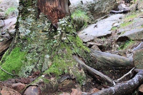 Free stock photo of dark green, moss, tree