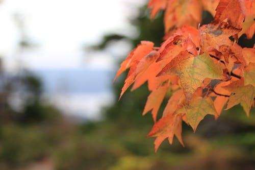 Free stock photo of fall colors, fall leaves