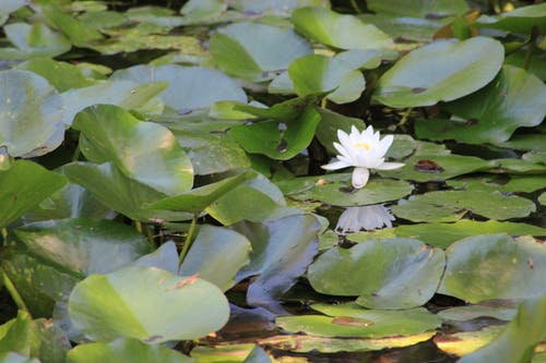 Free stock photo of water lily, waterlily