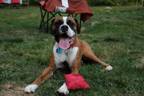 Free stock photo of boxer, boxers, dog