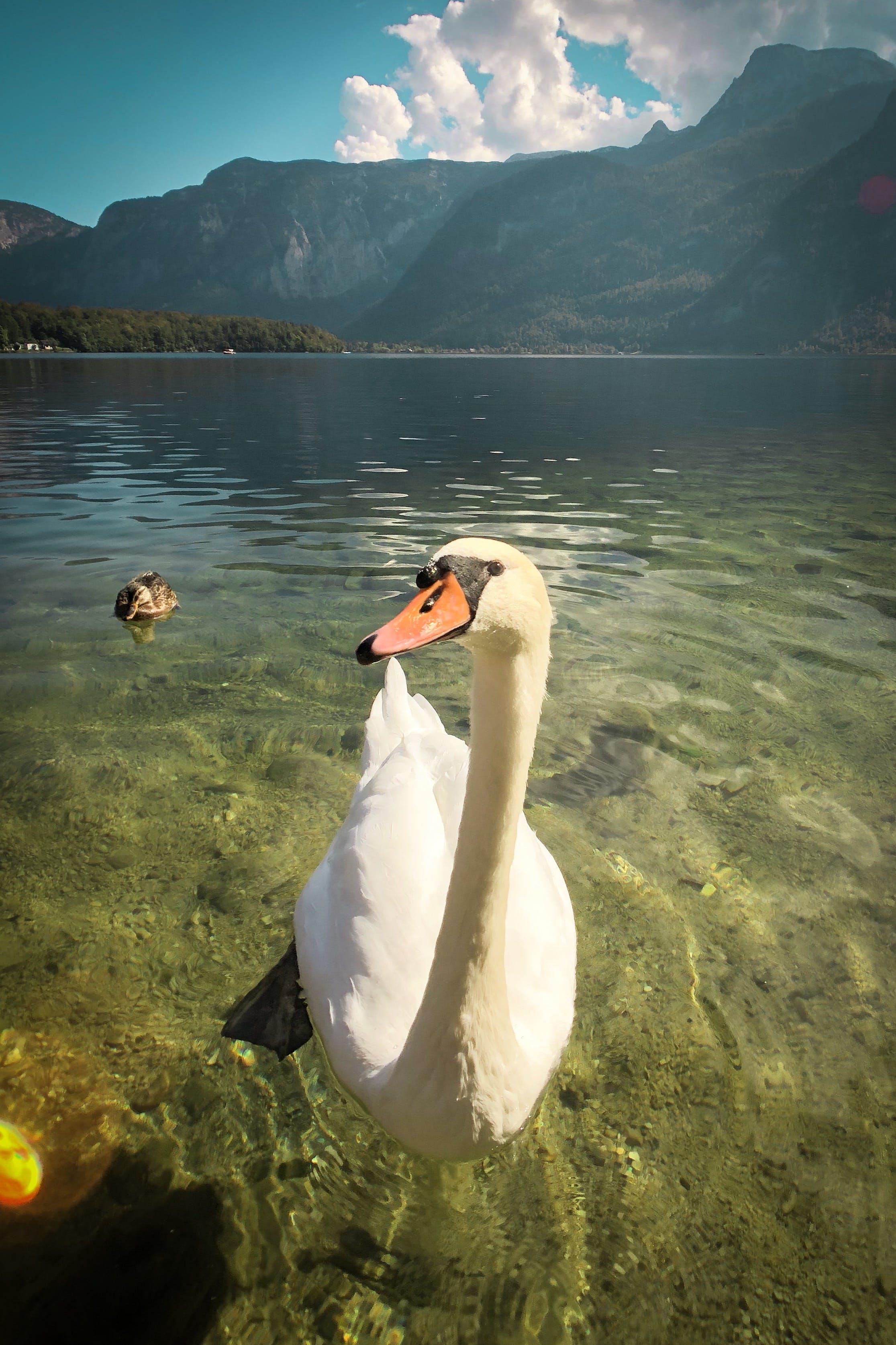 Základová fotografie zdarma na téma bílá labuť, bílé labutě, chlad, hora