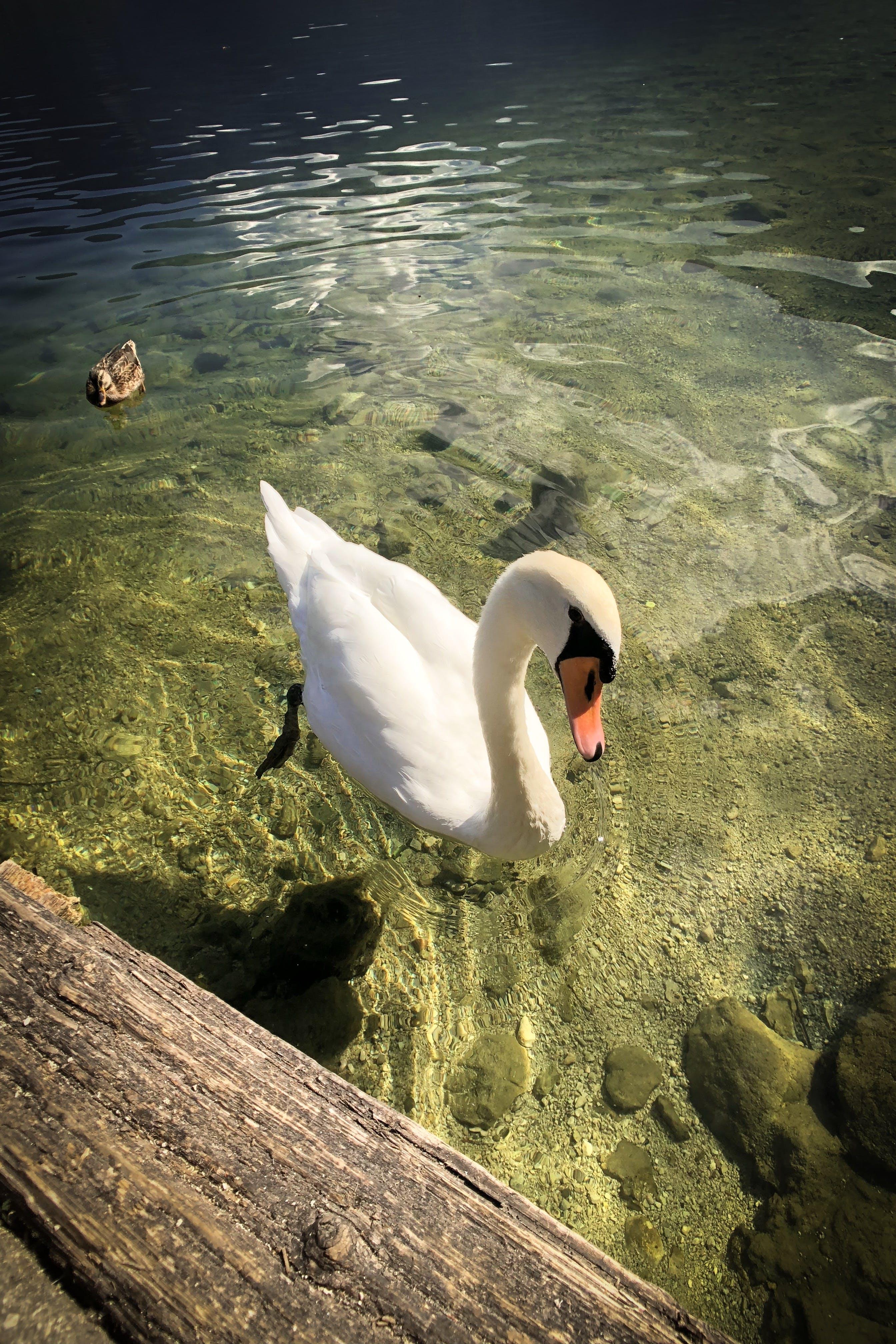 Základová fotografie zdarma na téma bílá, bílá labuť, evropa, jezero mondsee